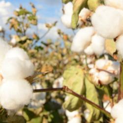 The Forgotten Cotton of North America